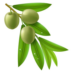 Branch of olive tree with green olives