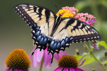 Swallowtail Butterfly Feeding on Lantana