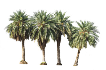 palm trees isolated on a white background