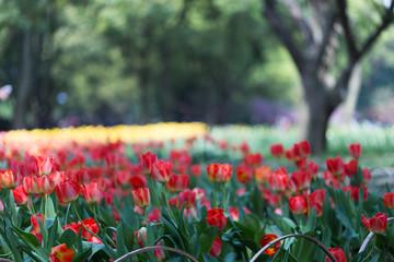 Fuzzy tulip garden