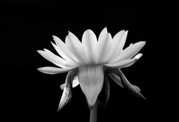 lotus isolated on black background