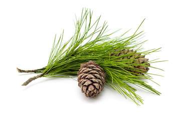 Green coniferous cedar branch with cones on white isolated