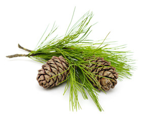 Green cedar branch with cones on white isolated