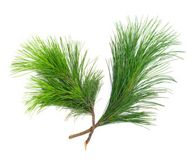 Two coniferous cedar  twigs on white isolated