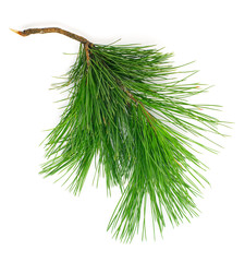 Green coniferous cedar branch on white isolated