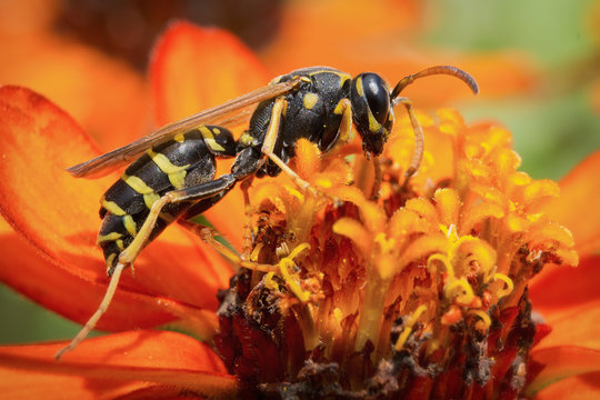Yellow Jacket (Wasp) / Wasp is collecting pollen and nectar from flowers.
