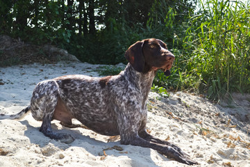 German shortyaired pointer on the beach