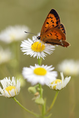 Common fleabane, Erigeron with butterfly Scarce Copper , Lycaena virgaureae