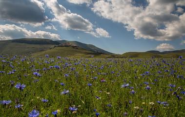 fiori castelluccio di Norcia