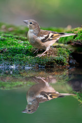 Common Chaffinch With Reflection