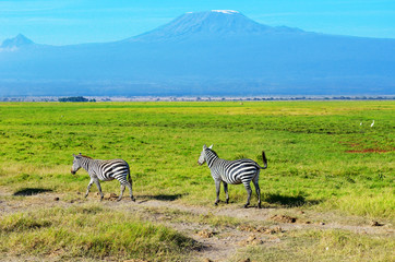 Beautiful Kilimanjaro mountain and zebras, Kenya,Amboseli national park, Africa