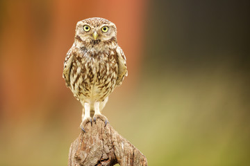 Wall Mural - Little owl on an old fence post looking at the camera