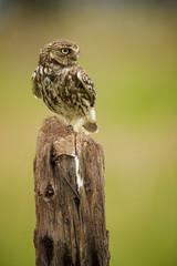 Fototapete - Little owl on an old post