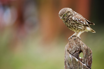 Fototapete - Little owl on an old fence post