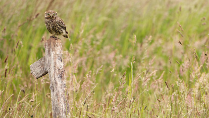 Fototapete - Little owl on an old post in a field