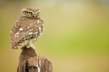 Wall Mural - Little owl on an old post