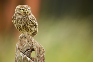 Poster - Little owl on an old post