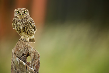 Wall Mural - Little owl on an old post looking at the camera