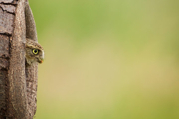 Fototapete - Little owl coming out of a hole in the tree