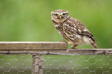 Fototapete - Little owl