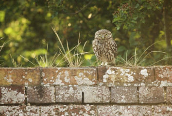 Fototapete - Little owl on a wall