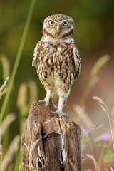 Wall Mural - Little owl standing to attention on a piece of farm machinery
