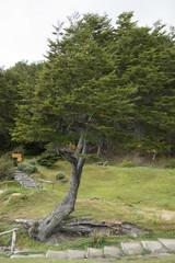 Hêtre de Magellan, Nothofagus betuloides, Terre de Feu, Patagonie, Argentine