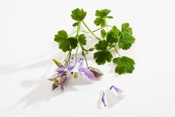 Akelei (Aquilegia), Blüten, Blätter