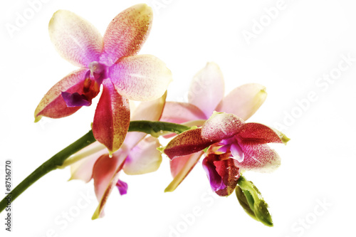 violette rot weisse orchidee orchidaceae stock photo. Black Bedroom Furniture Sets. Home Design Ideas