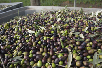 Freshly harvested olives in Tuscany, being prepared for press.