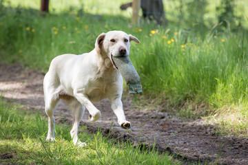 Labrador Retriever with a Training Dummy