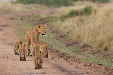 A lioness walking away down a track with her cubs
