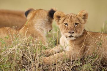 Lion cub looking at the camera