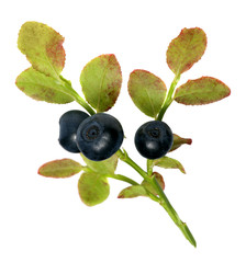 sprig of fresh wild forest blueberries isolated on white