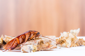 Brown Cockroach on spoiled food