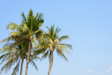 coconut tree on blue sky background
