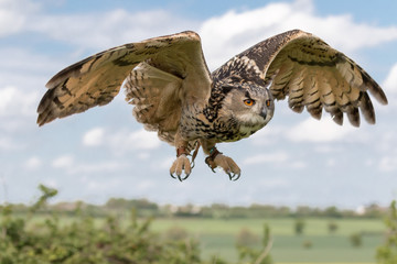 Eagle owl in flight with cloudy blue sky as background.