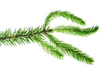 spruce isolated on white background