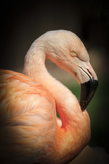 Caribbean flamingo ( Phoenicopterus ruber ruber )