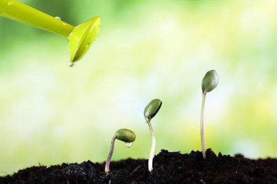 Watering green bean seedlings in soil on bright background