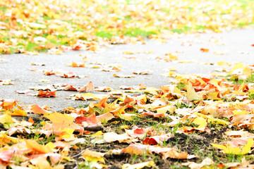 Autumnum golden maple leaves on sidewalk