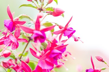 Close up of fuchsia flowers (Onagraceae Salvia Splendens)