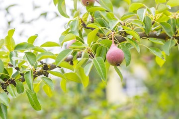 Immature pears on branch