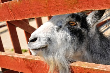 Close up of goat at the farm