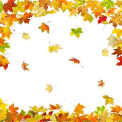 Falling autumn maple leaves isolated on white background.