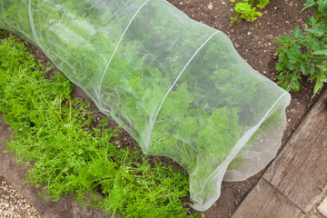 Carrots under cover to stop pests