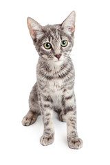 Adorable Domestic Shorthair Four Month Old Kitten Sitting