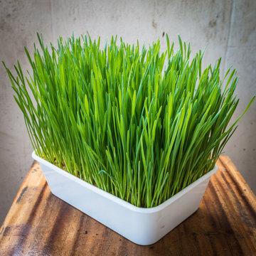 Wheatgrass in plastic pot