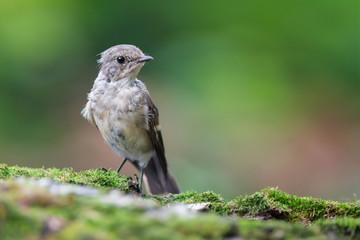 Juvenile Collared Flycatcher