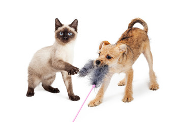 Wall Mural - Kitten and Puppy Playing With Feather Toy